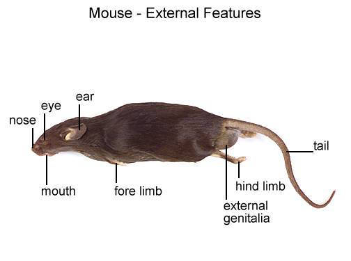 Mouse - External Features (with labels)