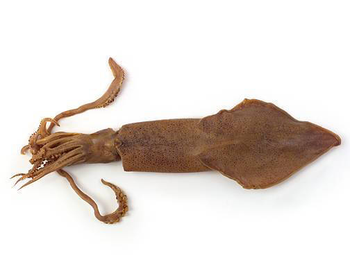 Squid - External Features (Dorsal View)