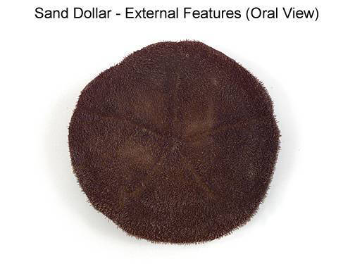 Sand Dollar - External Features (Oral View) (with labels)