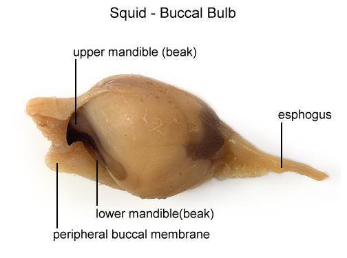 Squid - Buccal Bulb (with labels)