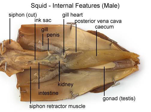 Squid - Internal Features (Male) (with labels)
