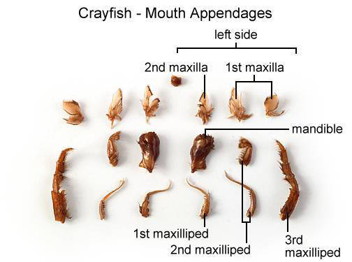 Crayfish - Mouth Appendages (with labels)
