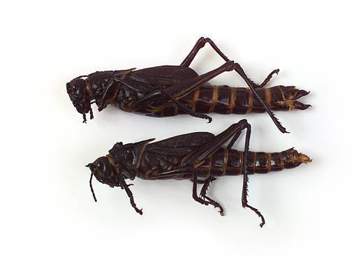 Grasshopper - External Features (Female and Male)