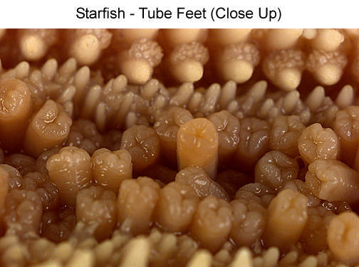 Starfish - Tube Feet (Close Up)