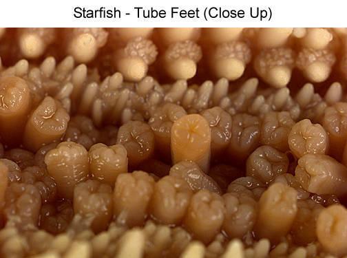 Starfish - Tube Feet (Close Up)