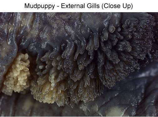 Mudpuppy - External Gills (Close Up) (with labels)
