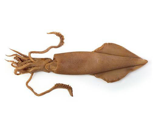 Squid - External Features (Ventral View)