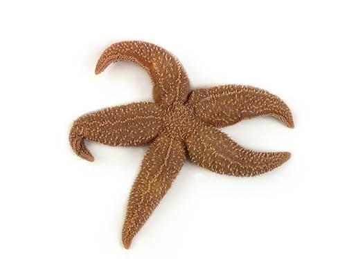 Starfish - Aboral View