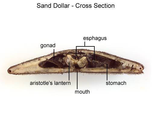 Sand Dollar - Cross Section (with labels)