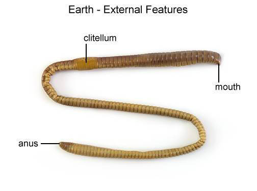 Earthworm - External Features (with labels)