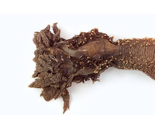 Sea Cucumber - Anterior (Close Up)