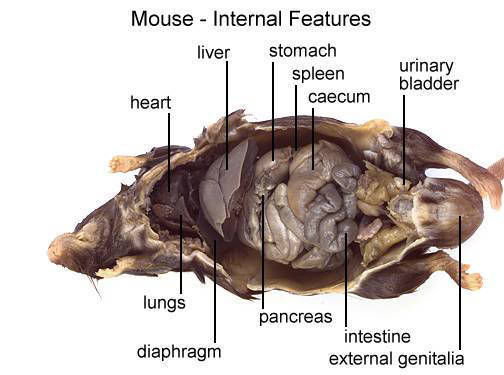 Mouse - Internal Features (with labels)