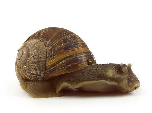 Snail - Lateral View