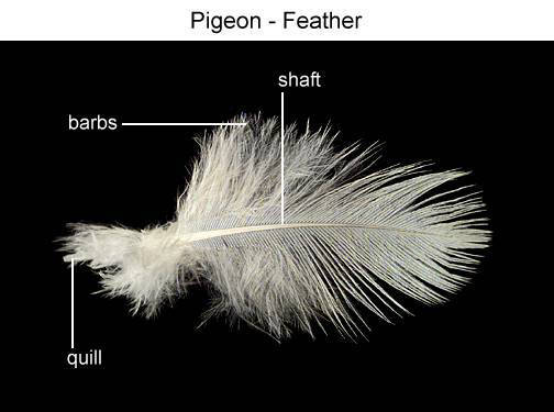 Pigeon - Feather (with labels)