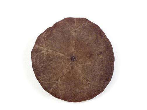 Sand Dollar - Oral View (Spines Removed)