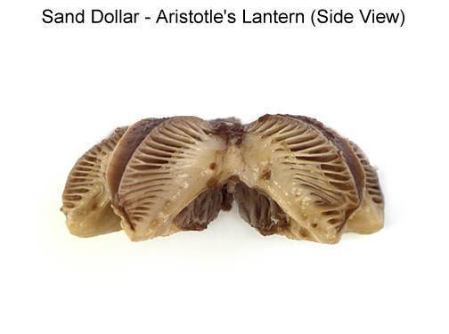 Sand Dollar - Aristotle's Lantern (Side View) (with labels)