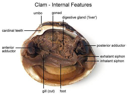Clam - Internal Features (b) (with labels)