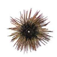 Sea Urchin - Oral View