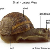 Snail - Lateral View (with labels)